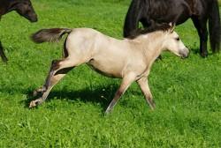 Poulain poney Bosniaque en liberté