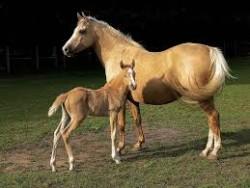 Poulain poney d'Arenberg et sa mère