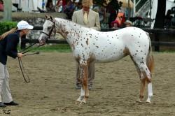 Poulain poney des Amériques au modèle
