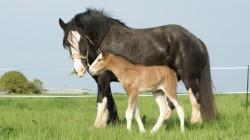 Poulain Shire et sa mère