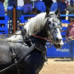 Présentation d'un cheval Percheron