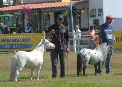 Présentation de poneys Brésiliens