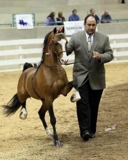 Présentation en main d'un American Show Pony