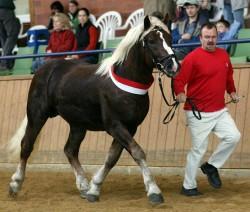 Présentation en main d'un cheval Black Forest Chestnut