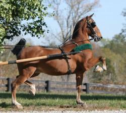 Profil d'un cheval Hackney au trot