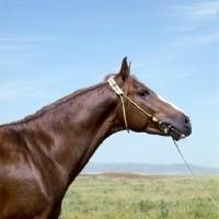 Profil d'un cheval Karabair