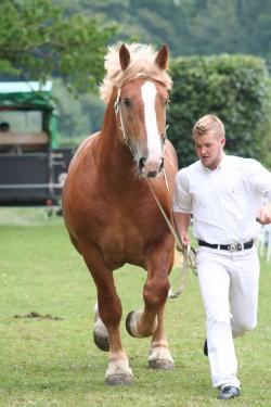 Prsentation d'un cheval du Schleswig