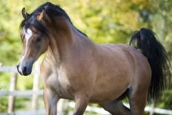 les chevaux.. - Page 14 Pur-sang-arabe-en-liberte,raceDeChevaux,232,image4,fr1384205677,L250