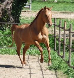 Quarter Horse au galop