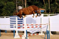Saut d'obstacle en liberté avec un cheval de sport brésilien