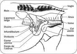 Schéma du système reproducteur chez la jument