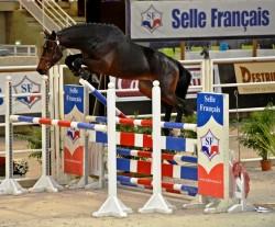 Selle-Français lors d'un saut en liberté