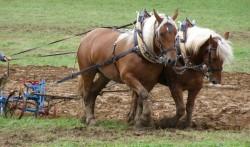 Traits Comtois lors de travaux agricoles