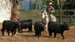 Travail du bétail avec un cheval Criollo