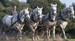 Travaux agricoles avec des chevaux Percherons