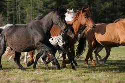 Troupeau de chevaux Altaï