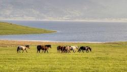 Troupeau de chevaux Batak
