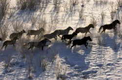 Troupeau de chevaux Bouriate