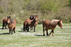 Troupeau de chevaux Burguete