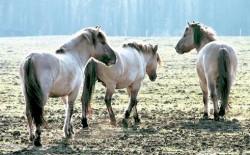 Troupeau de chevaux Davertnickel