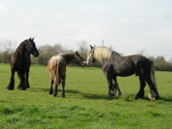 Troupeau de chevaux de trait Mulassier en liberté