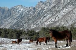 Troupeau de chevaux du Vercors