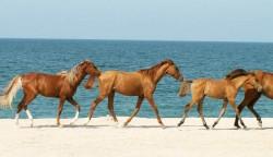 Troupeau de chevaux Karabakh