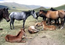 Troupeau de chevaux Kirghiz