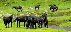 Troupeau de chevaux Mérens