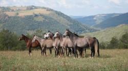 Troupeau de chevaux Pur Sang Arabe