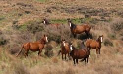 Troupeau de chevaux sauvages Kaimanawa