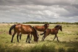 Troupeau de chevaux Selle Argentin