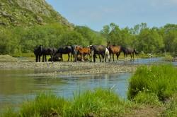Troupeau de poney Altaï près d'une rivière