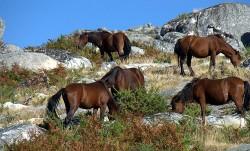 Troupeau de poney des Açores