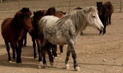 Troupeau de poney Skyros
