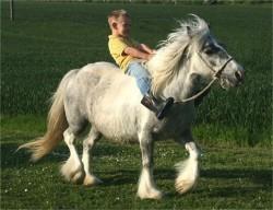 Un American Draft Pony monté par un enfant