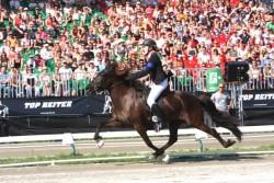 Un cheval Ardennais Suèdois monté