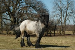 Un rare cheval Jutland gris
